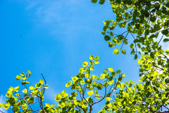 Green leafs in the blue sky Royalty Free Stock Photography