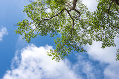 Green leafs in the blue sky Stock Photography