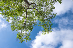 Green leafs in the blue sky Royalty Free Stock Images