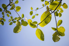 Green leafs and the blue sky Royalty Free Stock Image
