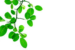 Green leafs border design. Green leafs on white background Royalty Free Stock Photo