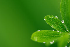 Green leafs with drops Stock Images