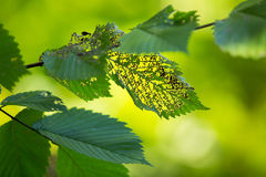 Green leafs eaten by insect, Stock Images