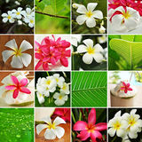 Green leafs and flowers. Pink and white Frangipani flower collage Royalty Free Stock Photo
