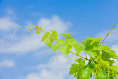 Green leafs of grapevine Stock Image