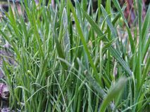 Green grasses. Green leafs of grasses stock images