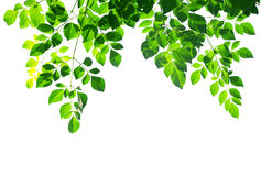 Green leafs isolated Royalty Free Stock Photo