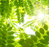 Green leafs Stock Photo