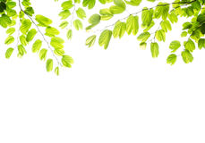 Green leafs isolated Royalty Free Stock Image