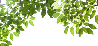 Green leafs isolated on white Royalty Free Stock Photography