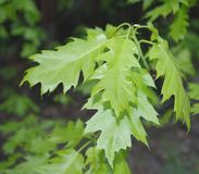 Green leafs of oak Royalty Free Stock Photo
