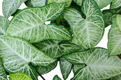 Green leafs pattern texture background. Royalty Free Stock Photos