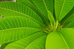 Green leafs of plumelia Stock Photography