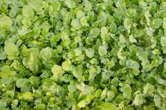 Fresh green reddish growing in garden stock photography
