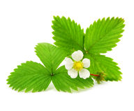 Green leafs of strawberry with flower Royalty Free Stock Images
