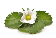 Green leafs of strawberry with flower Royalty Free Stock Image