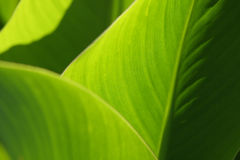 Green leafs texture. Detail of green leafs in sunny day Stock Images