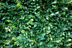 Green leafs texture. Royalty Free Stock Photo