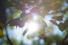 Green leafs of tree in morning Royalty Free Stock Image