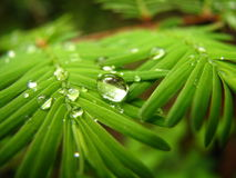 Green Leafs. Two branches in early spring, interlacing their needles with one another, sharing the droplets of rain that recently fell Stock Photos
