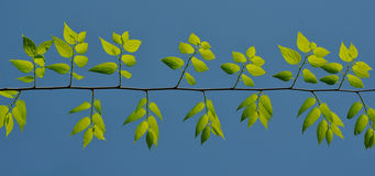 Green leafs under the blue sky. Fresh green leafs under the blue sky Royalty Free Stock Images