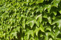 Green leafs wall Royalty Free Stock Photo