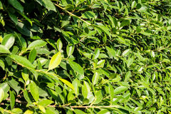 Green leafs. The wall of green leafs Stock Photos