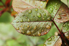Green leafs with water droplets detail Royalty Free Stock Photography