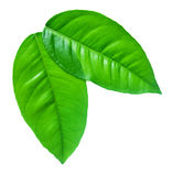 Green leafs on a white background Stock Images