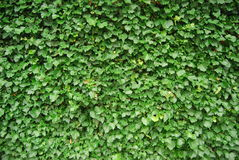 Green leafy background. Seamless green leafy background of hedge or bush Royalty Free Stock Image