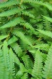 Green leafy background from the forest Royalty Free Stock Photography