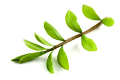 Green leafy branch. Royalty Free Stock Photo