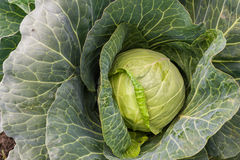 Green leafy cabbage Stock Image
