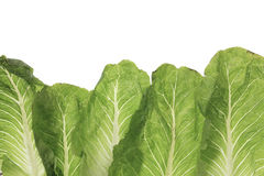 Green leafy kale vegetable isolated on white Stock Images