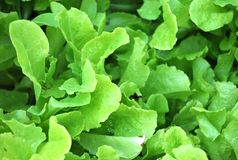 Green leafy lettuce in agarden Royalty Free Stock Photography