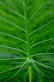 Green leafy plant. Details of a large green leafy plant Royalty Free Stock Images