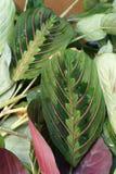 Maranta plant close up. A green leafy plant-Maranta Royalty Free Stock Photos