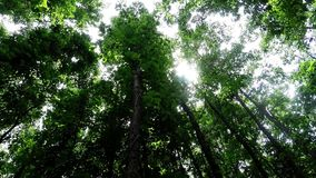 Green leafy trees in forest looking up to the sky Royalty Free Stock Image