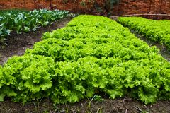 Green leafy vegetables Royalty Free Stock Photos