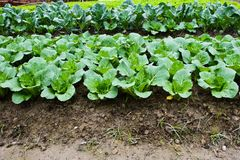 Green leafy vegetables Stock Photos