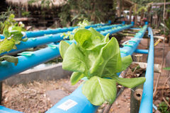 Green leafy vegetables. Vegetables growing with Hydroponic Gardening System. Hydroponic growing uses mineral nutrient solutions to feed the plants in water Stock Photos
