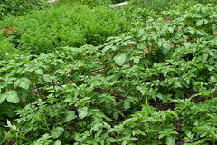 Green leafy vegetables. Potatoes and red carrot Royalty Free Stock Images