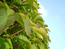 Green leafy vegetation and sky Royalty Free Stock Photography