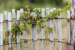 Green leafy vine plant on wood fence. Green leafy vine plant growing on small plank old wood sea fence Royalty Free Stock Image