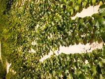 Green leafy vines clinging to white concrete wall Stock Photography