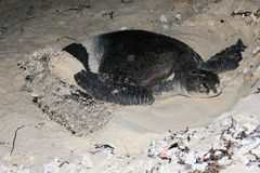 A GREEN LEATHERBACK MARINE TURTLE DIGGING A BURROW TO LAY EGGS stock photos
