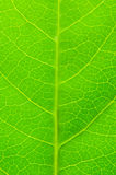 Green leave. Very extreme close up of green leave Stock Photography