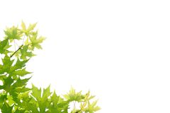 Green leave. Green maple leaves in the White background Stock Photography