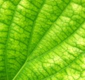 Green leave Royalty Free Stock Images