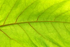 Green leave. Covered by solar beams, close-up royalty free stock images